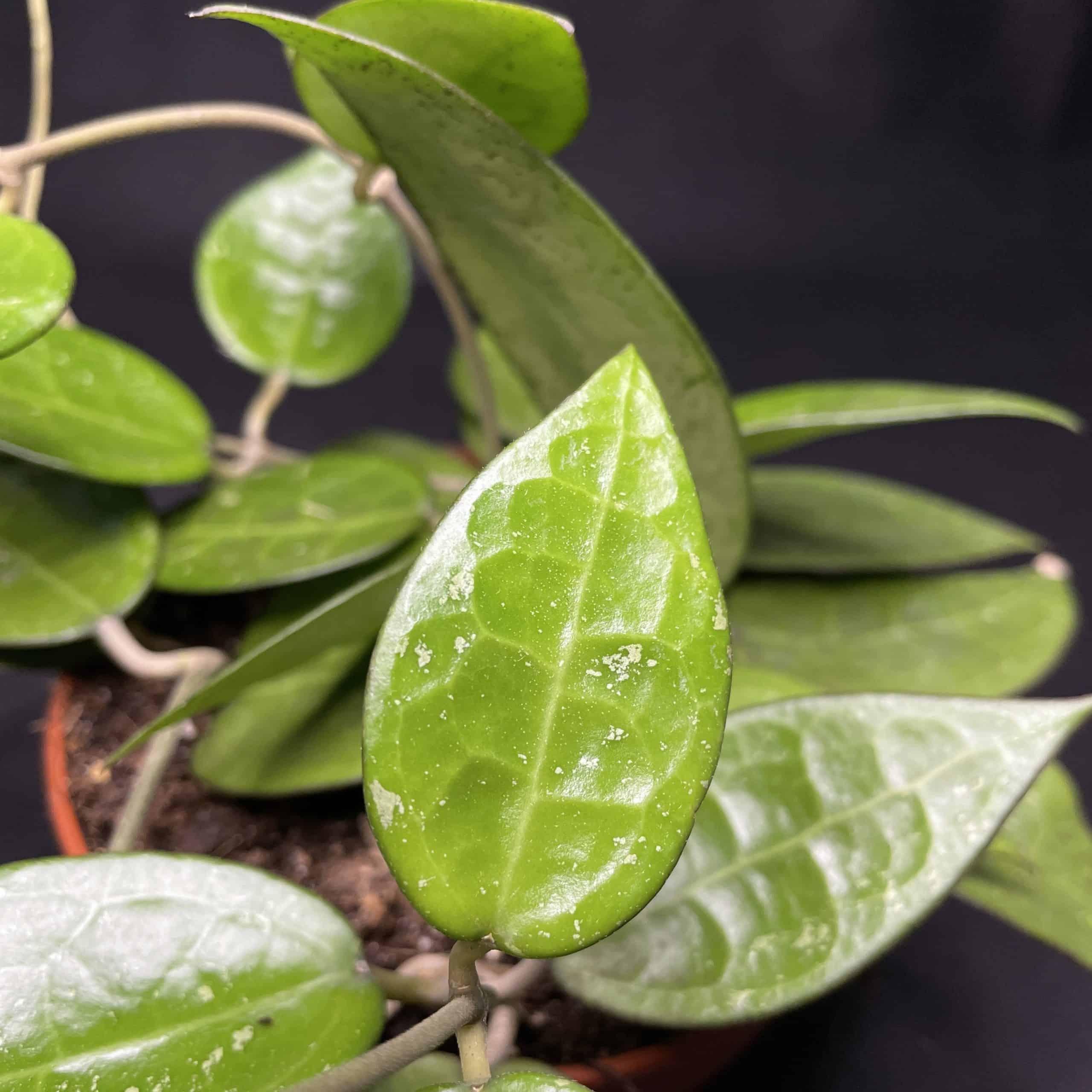 Hoya Parasitica Black Margin in 12cm pot
