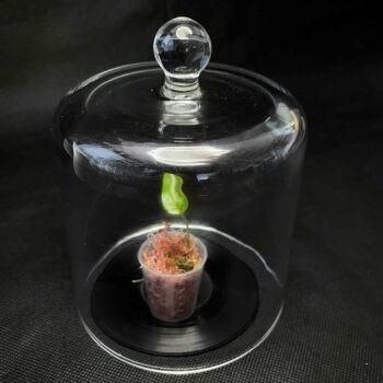 Cloche Dome Bell Jar | 13cm x 12cm Cloche bell dome