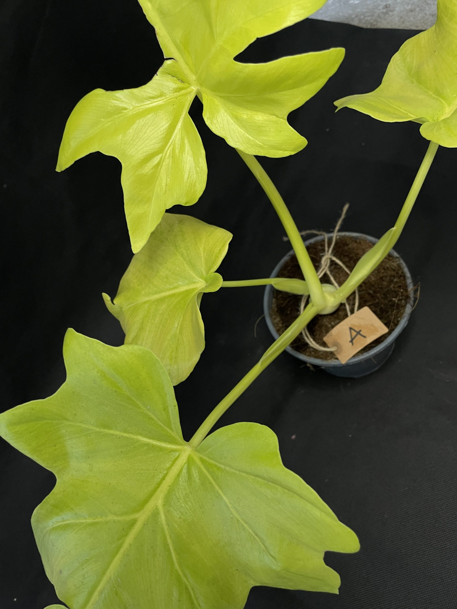 Philodendron Selloum Gold   13cm Pot