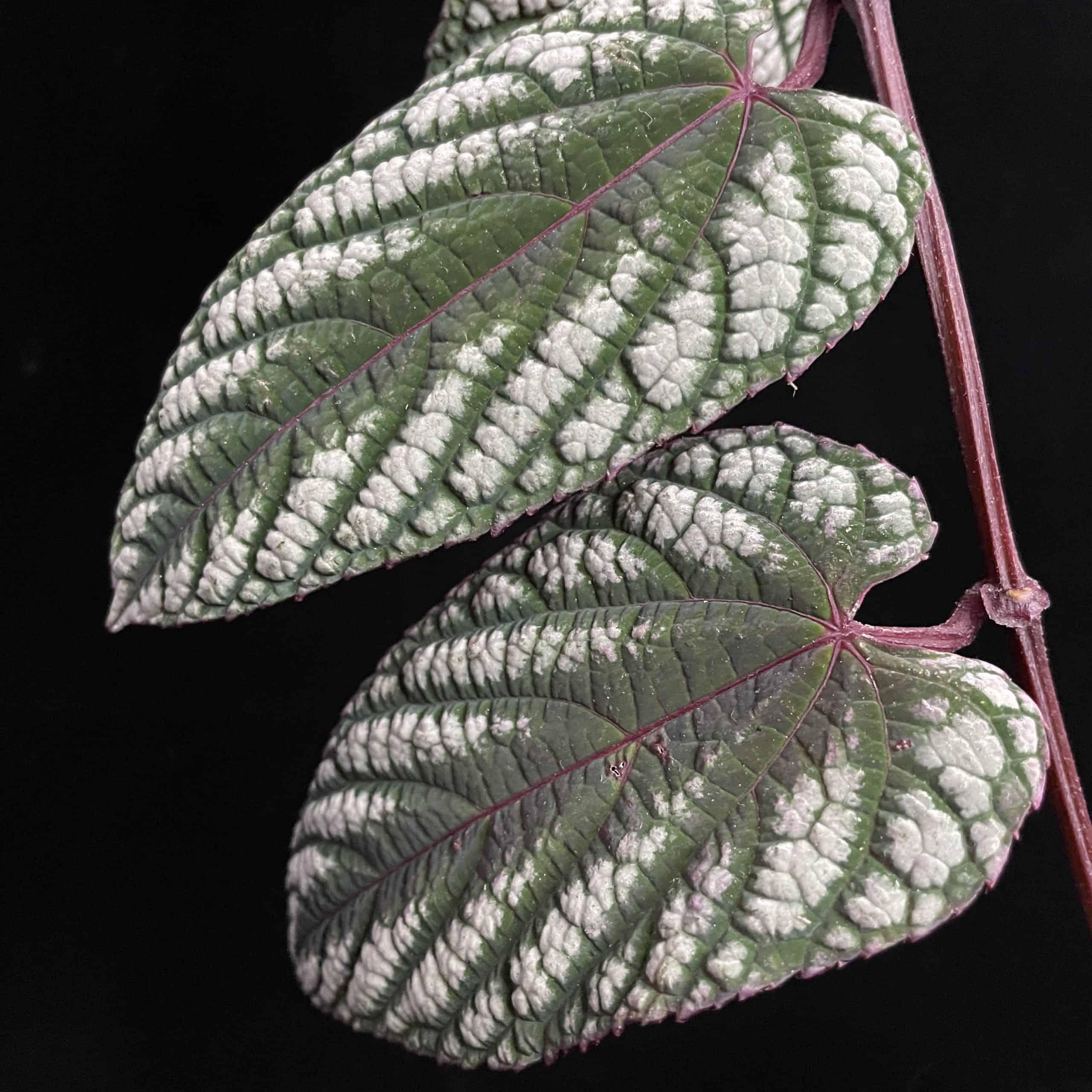 Cissus Discolor in 14cm Hanging Pot   Rex begonia vine