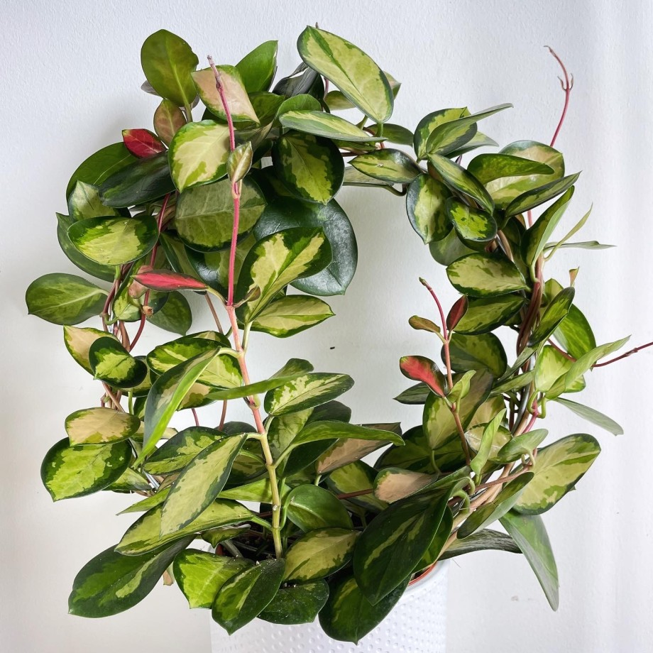 Hoya Australis 'Lisa' in 13cm pot Hanging & Trailing 13cm plant