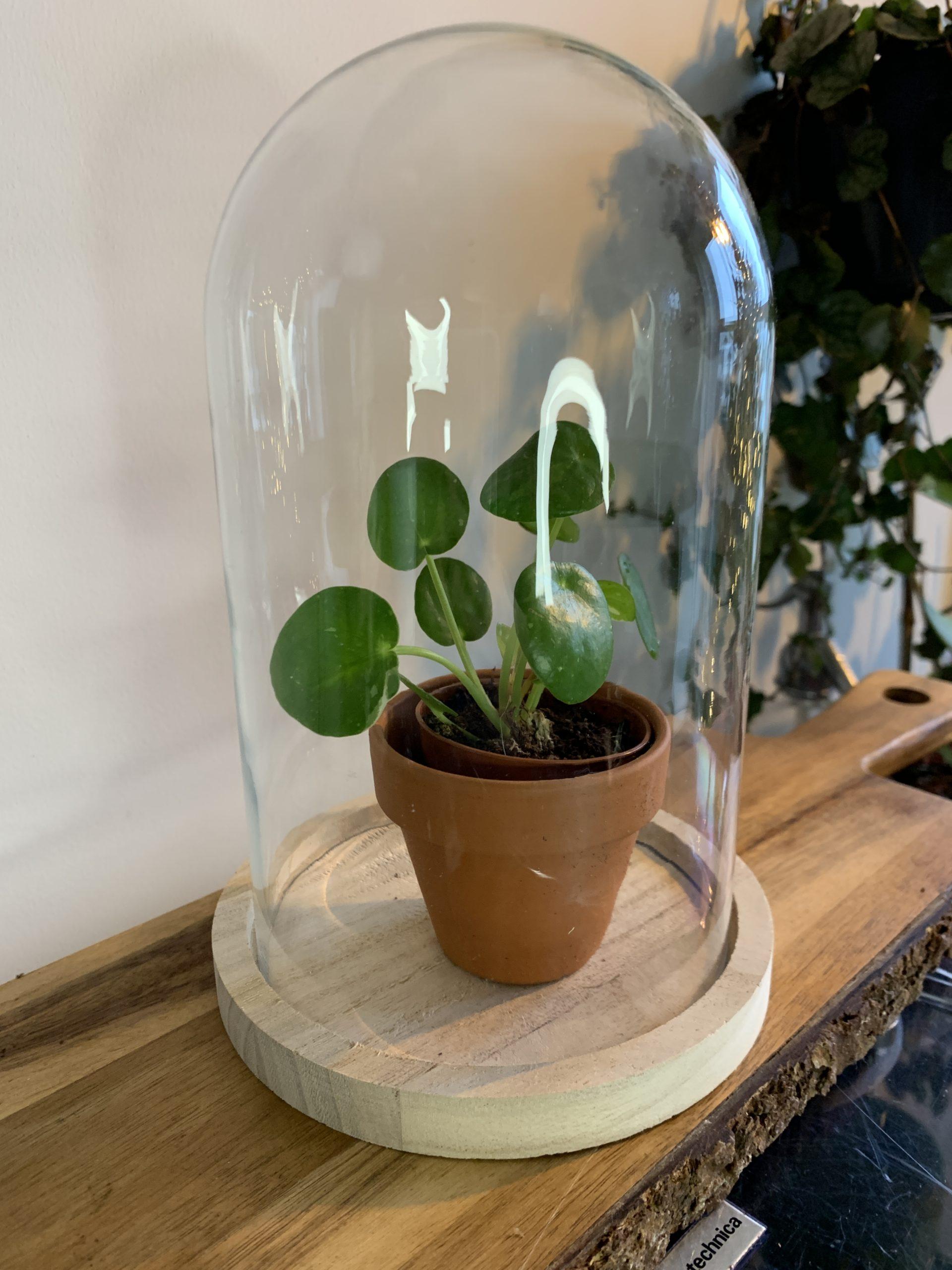 plant in cloche
