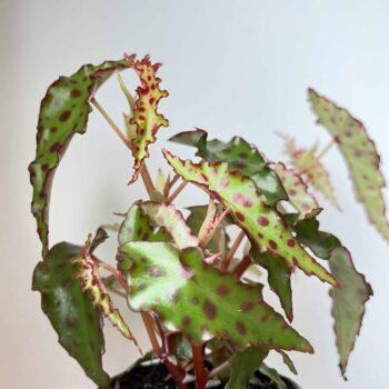 Begonia Amphioxus in 6cm pot Houseplants 6cm plant