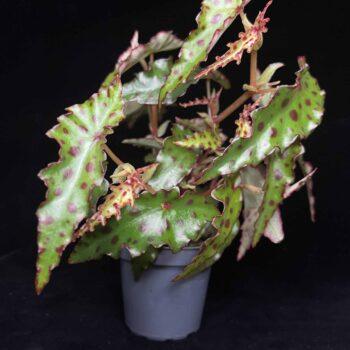 Begonia Amphioxus in 6cm pot Houseplants 6cm plant 2