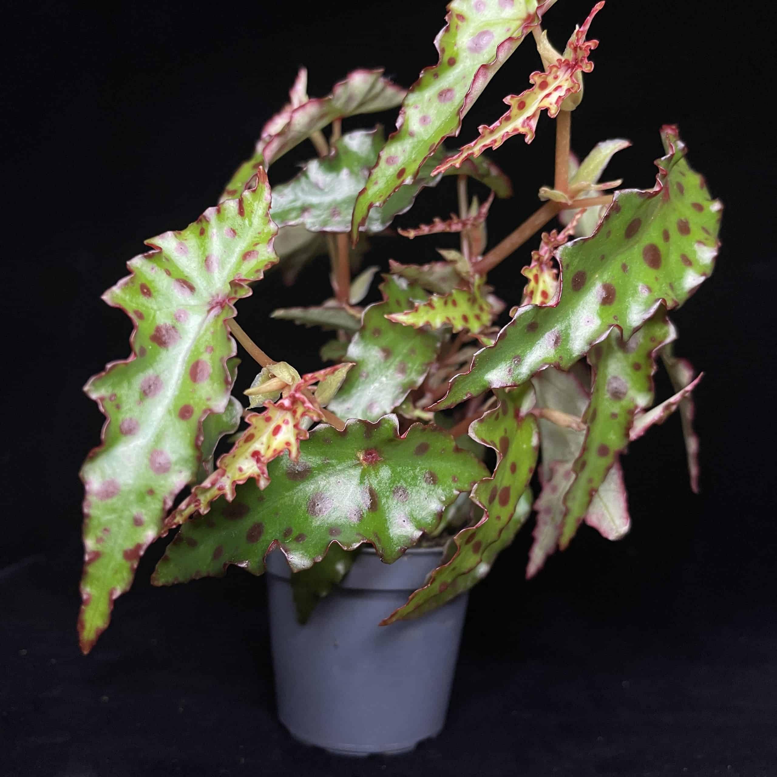 Begonia Amphioxus in 6cm pot