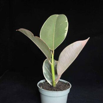 Ficus Tineke aka Rubber Fig  in 6cm pot Houseplants 6cm plant