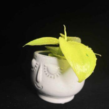Philodendron Moonlight Lemon Lime in 6cm pot Houseplants 6cm plant 2