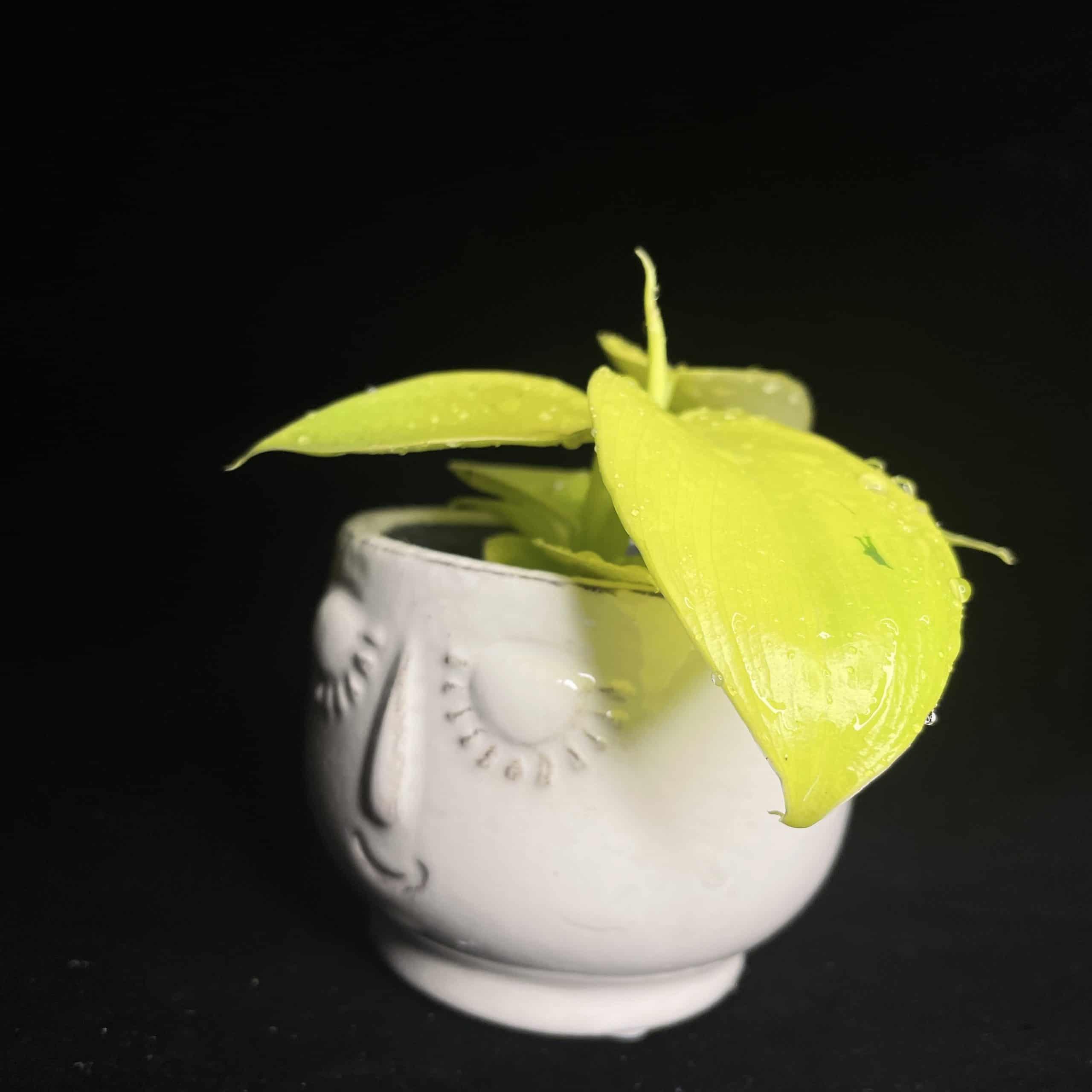 Philodendron Moonlight Lemon Lime in 6cm pot