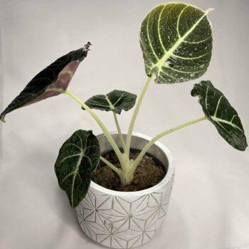 Alocasia Black Velvet in 11cm pot Houseplants 11cm plant