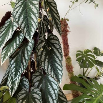 Cissus Discolor ROOTED Cuttings/Baby Plants | Rex Begonia Vine Cuttings cissus