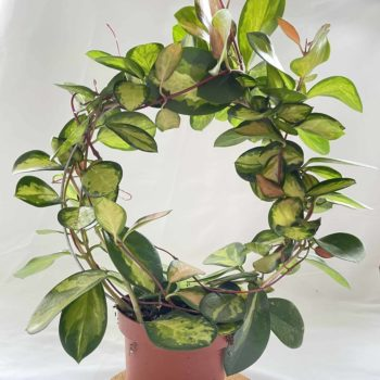 Hoya Australis 'Lisa' in 13cm pot Hanging & Trailing 13cm plant 4