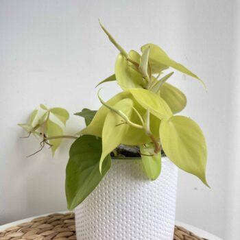 Philodendron Lemon Lime in 12cm pot Houseplants 12cm plant