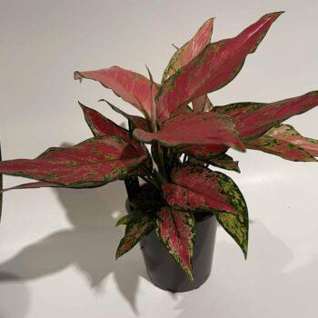 Aglaonema Cherry Baby in 12cm pot Houseplants 12cm pot