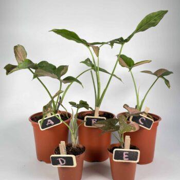 Syngonium Red Spot variety aka Pink Splash | 5cm | 9cm Houseplants 10cm plant 3