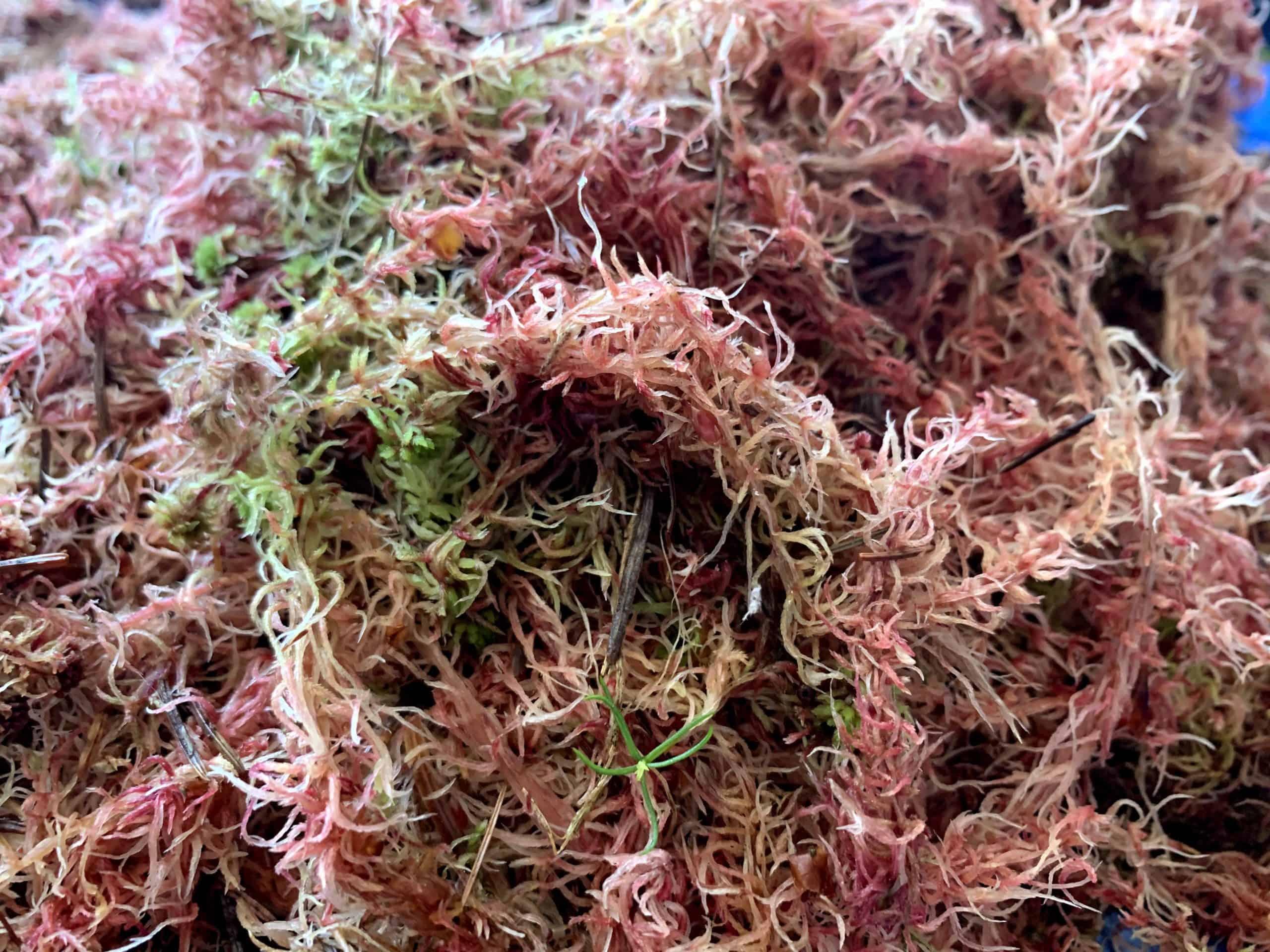 fresh pink sphagnum moss