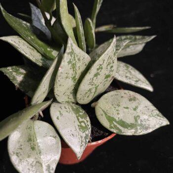 Scindapsus epipremnum pothos NJoy 14cm hanging pot Hanging & Trailing 14cm pot