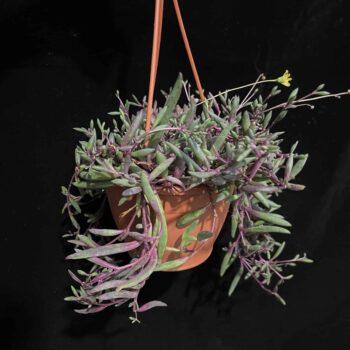 Senecio Herreianus Purple Flush in 12cm pot Hanging & Trailing 12 plant