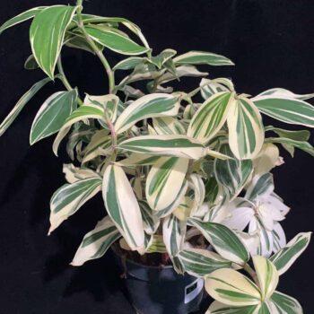 Costus Arabicus – Variegated Spiral Ginger in 15cm pot Houseplants 15cm plant 3