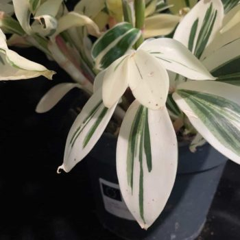 Costus Arabicus – Variegated Spiral Ginger in 15cm pot Houseplants 15cm plant 4