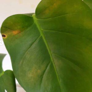 monstera leaf spot disease
